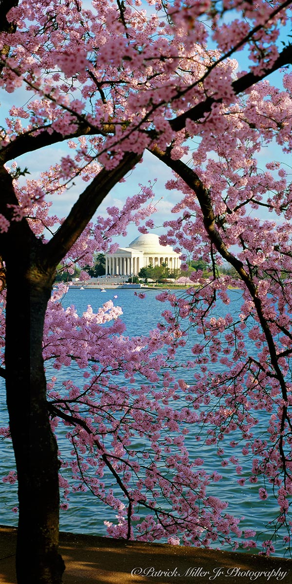 Spring Cherry Blossoms framing the Jefferson Memorial in Washington, DC.