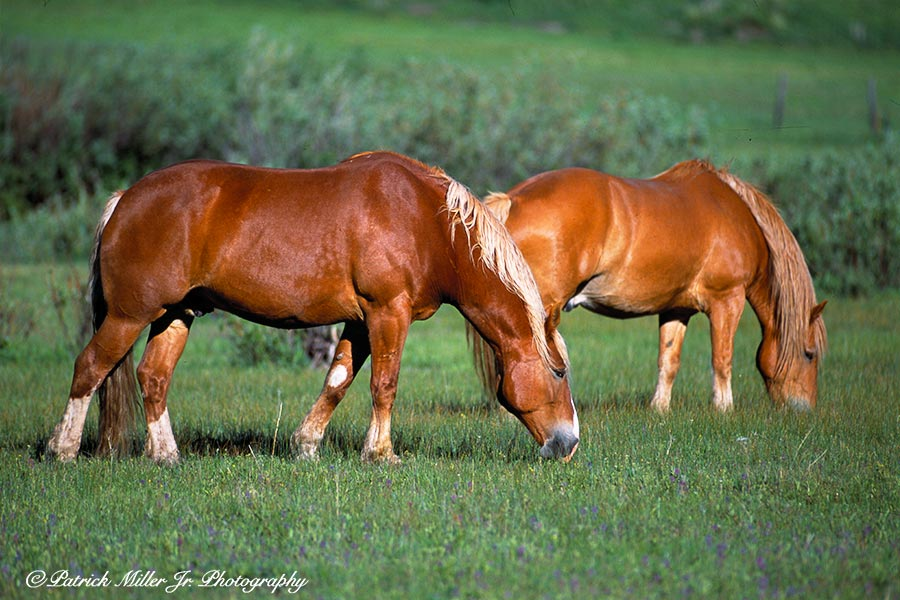 Large Gelding Ranch Horses grazing in a field, CO