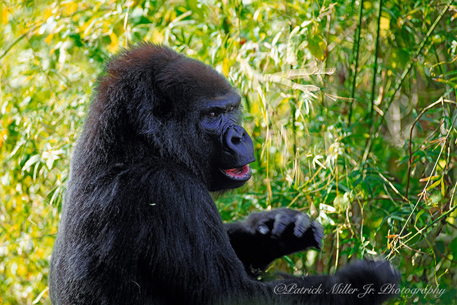 Fierce looking gorilla pounding his chest in a bamboo forest