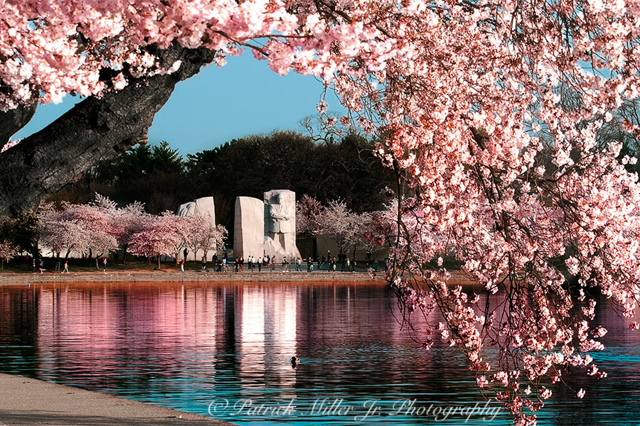 Martin Luther King Memorial framed by spring cherry blossom at the tidal basin in Washington, DC