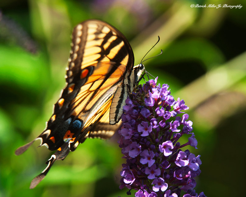 Monarch Butterfly On Purple Flower, wild flowers, flowers, monarch butterfly, wildflowers and butterfly, blue moth, macro, micro, nature, wilderness, outside, outdoors, wildlife, landscapes, forest, plant, sunsets, trees, rivers, lakes, alpine, amazing, beautiful, beauty, blue, morning, dawn, green, lake, landscape, mountain, natural, relax, scenic, spiritual, sunrise, travel, usa, north america, national, park, high, country, back country, wilderness, wild, land, escape, exploration, recreation, travel, tourism, picturesque, sightseeing, vacation, camping, woods, unspoiled, woods, forest, hike, hiking, national park, np, united states national park, patrick, patrick miller jr, miller, patrick miller jr photography, patrickmillerjrphotography, photography, photographer, photo, picture, pictures, pic, pix, dc, d.c., washington d.c., washington dc, virginia, maryland, bethesda, md, va, nova, northern virginia, reston, herndon, fairfax, leesburg, sterling, burke, falls church, tyson corner, mclean, arlington, alexandria, springfield, image, advertising, professional, business, display, art, high res, purchase, prints, stock, amazing, stock photography, stock, travel, attraction, destination, scene, scenic, high resolution, color, colour, detailed