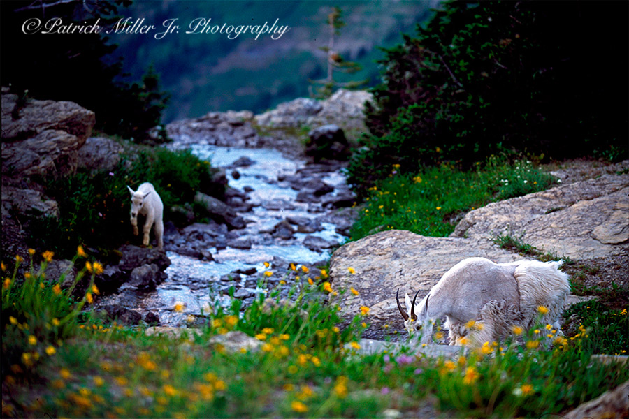 Mountain Goats Glacier National Park, goat, glacier national park, wildlife, wildflowers, river, stream, fur, fur coat, close up, nature, wilderness, outside, outdoors, wildlife, landscapes, forest, trees, rivers, lakes, alpine, amazing, beautiful, beauty, morning, dawn, green, landscape, majestic, mountain, natural, peak, scenic, spiritual, stone, summit, sunrise, travel, water, wilderness, beautiful, range, mountains, usa, north america, national, park, high, country, back country, hiking, hike, wilderness, wild, land, escape, exploration, adventure, adventuresome, adventuring, health, recreation, travel, tourism, isolated, picturesque, destination, sightseeing, vacation, camping, hike, hiking, national park, np, united states national park, patrick, patrick miller jr, miller, patrick miller jr photography, patrickmillerjrphotography, photography, photographer, photo, picture, pictures, pic, pix, dc, d.c., washington d.c., washington dc, virginia, maryland, bethesda, md, va, nova, northern virginia, reston, herndon, fairfax, leesburg, sterling, burke, falls church, tyson corner, mclean, arlington, alexandria, springfield, image, advertising, professional, business, display, art, high res, purchase, prints, stock, amazing, stock photography, stock, travel, scene, scenic, large format, high resolution, color, colour, detailed, horizontal
