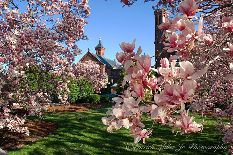 Spring Blossoms at the Smithsonian Institution's Arts and Industries Building Washington DC