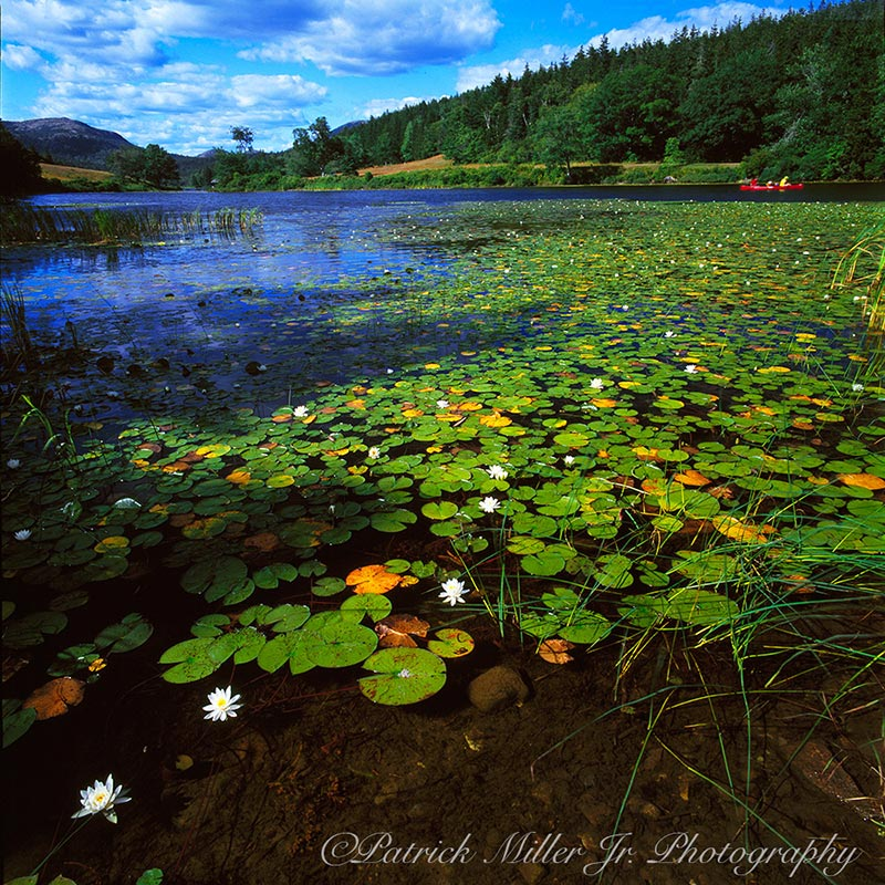 Long Pond and lots of flowering Lilli Pads Acadia National Park