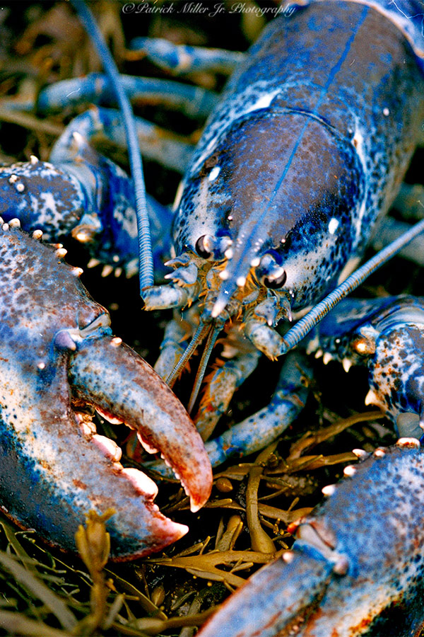 Rare live blue lobster laying in seaweed Maine