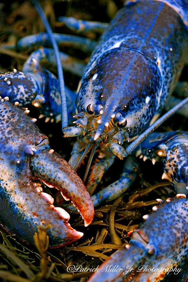Rare live blue lobster laying in seaweed, Maine