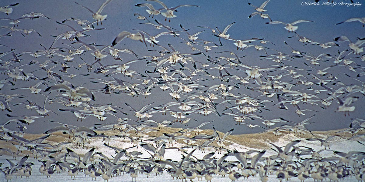 Group of sea gulls flying in the winter snow and ice