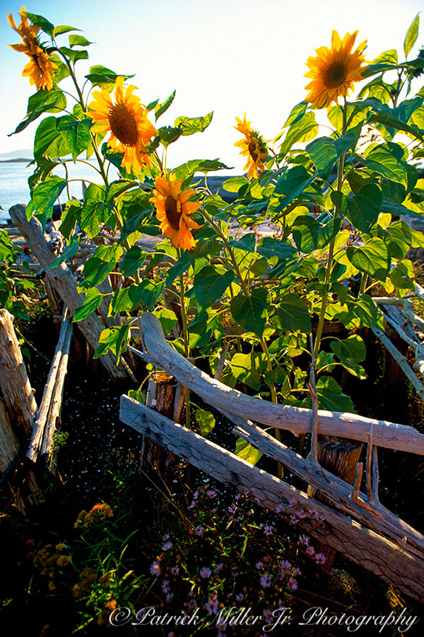 Sunflowers in a garden along the Maine shoreline with a hand made fence.