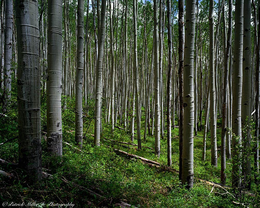 Aspen forest in the spring Aspen, Colorado Large Format Camera