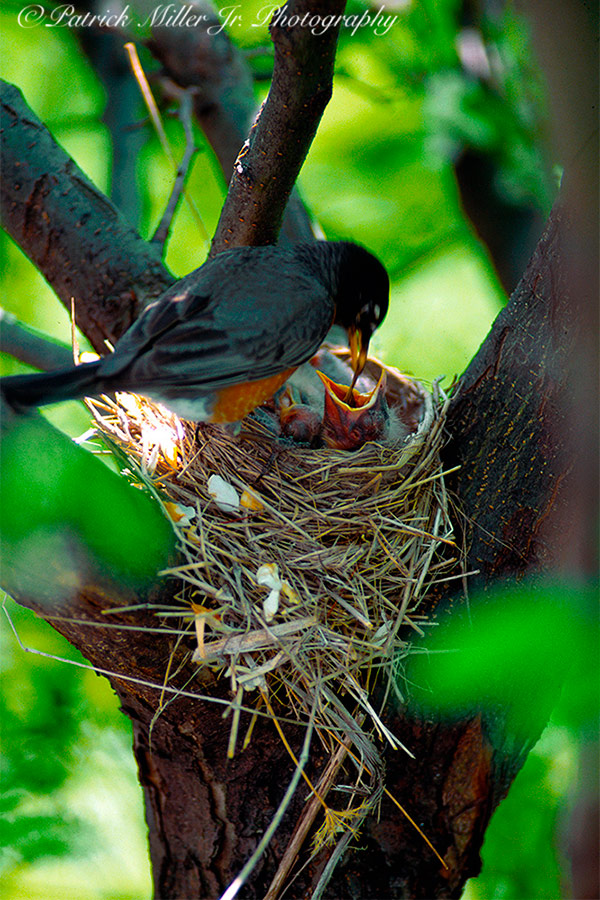 Nesting robins being fed