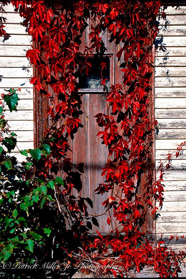 Door overgrown with red Ivy in the fall