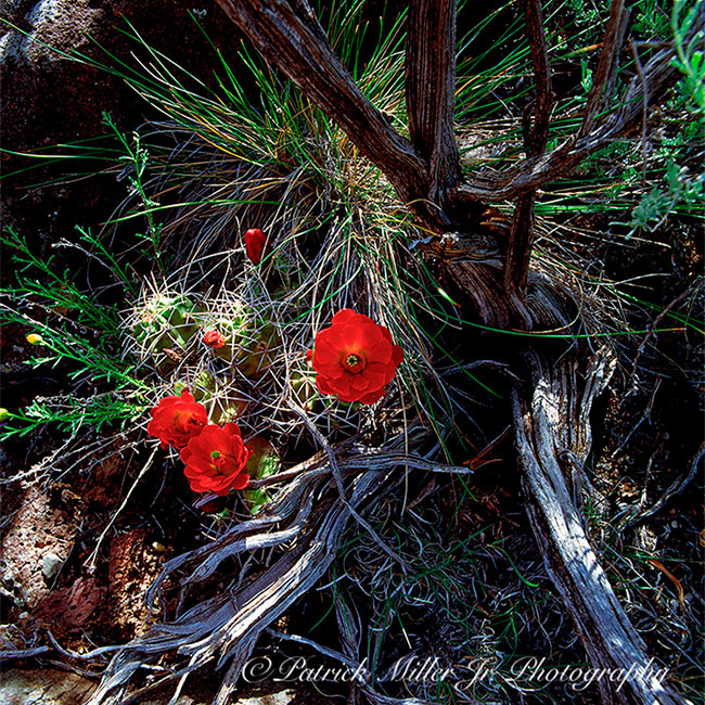 Cactus Wildflowers in the American South West